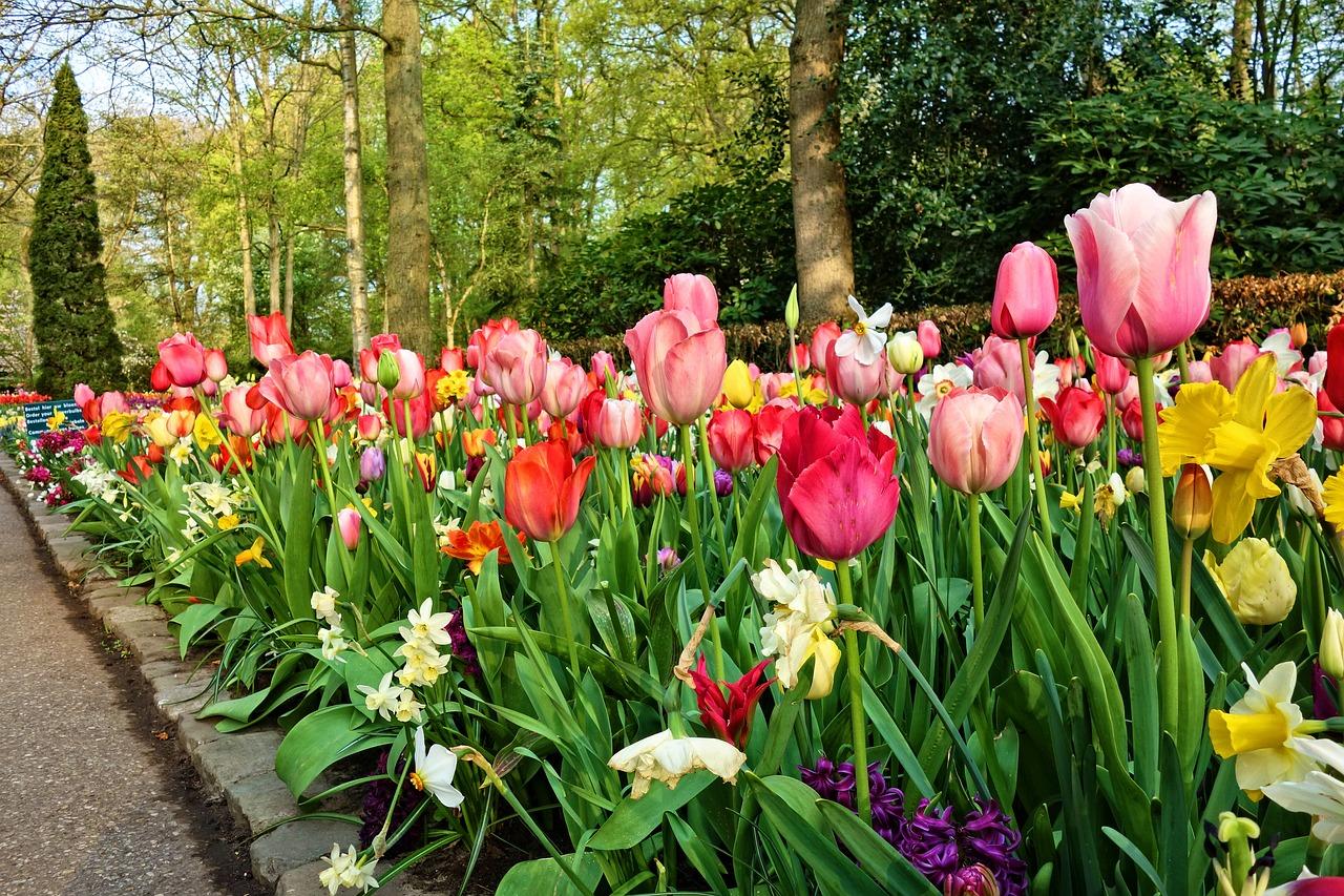 Jak sadzić cebulki tulipanów?
