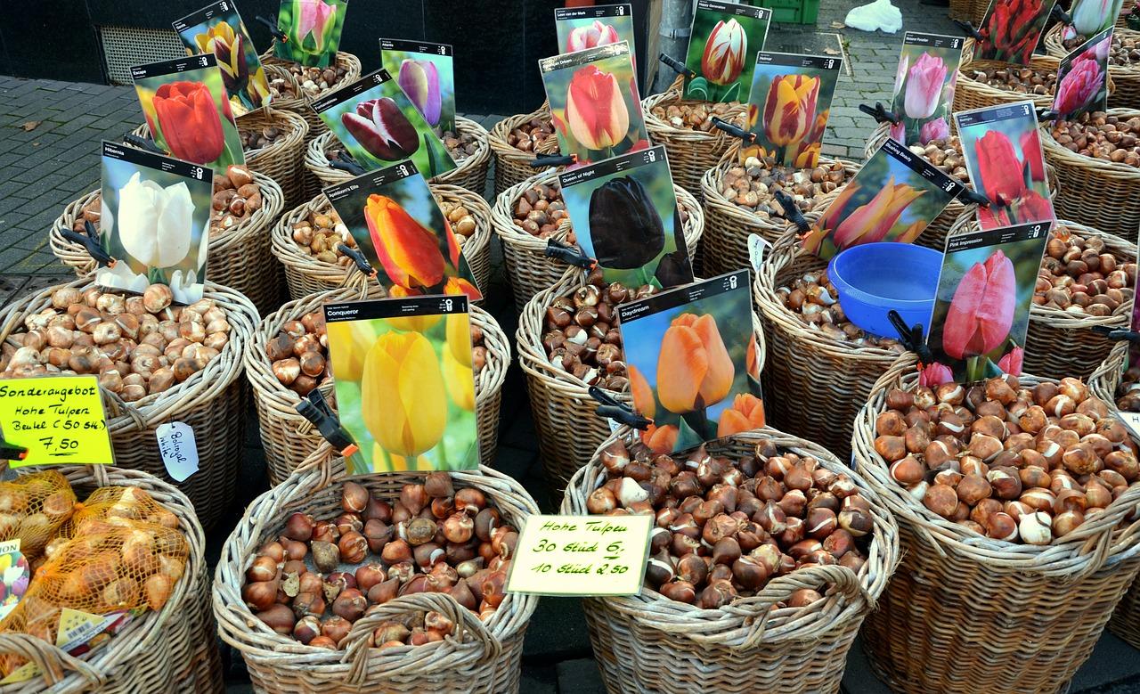 Jak wybrać cebulki tulipanów?