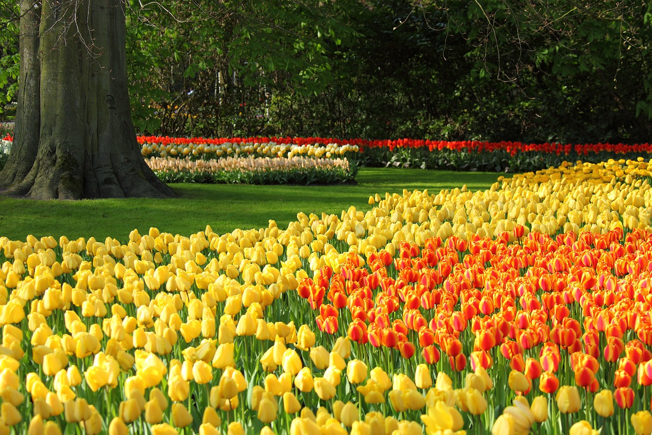 Właściwa pielęgnacja cebulek tulipanów