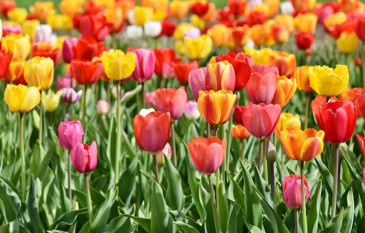 Ceremonia nadawania imion tulipanom