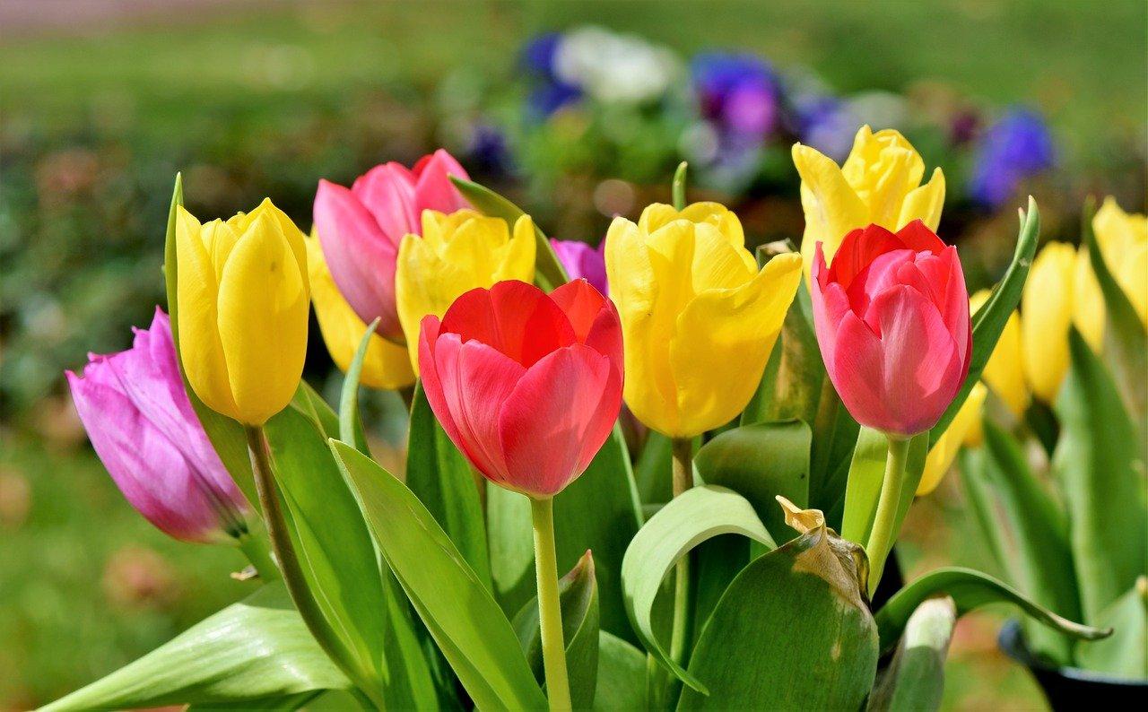 Jak sadzić nasiona i cebulki tulipanów?