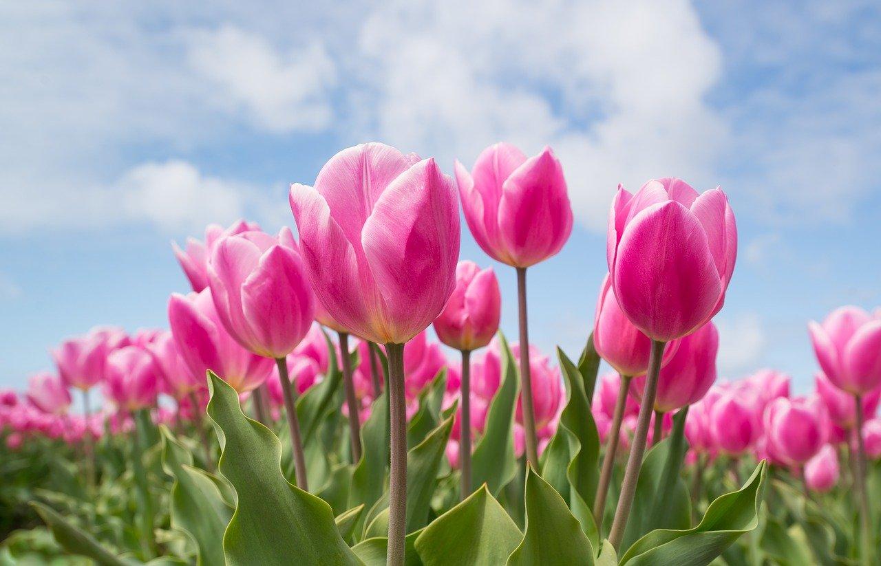 Skąd zwyczaj nadawania imion tulipanom?