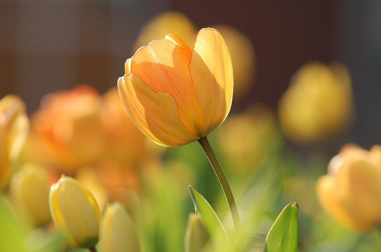 Tradycja nadawania tulipanom imion znanych osób