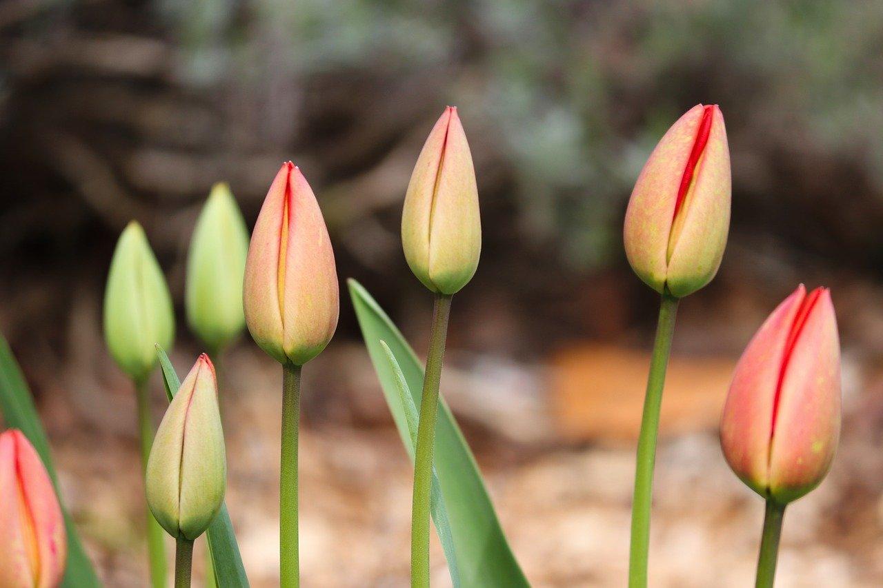 Cebulki czy nasiona tulipanów?