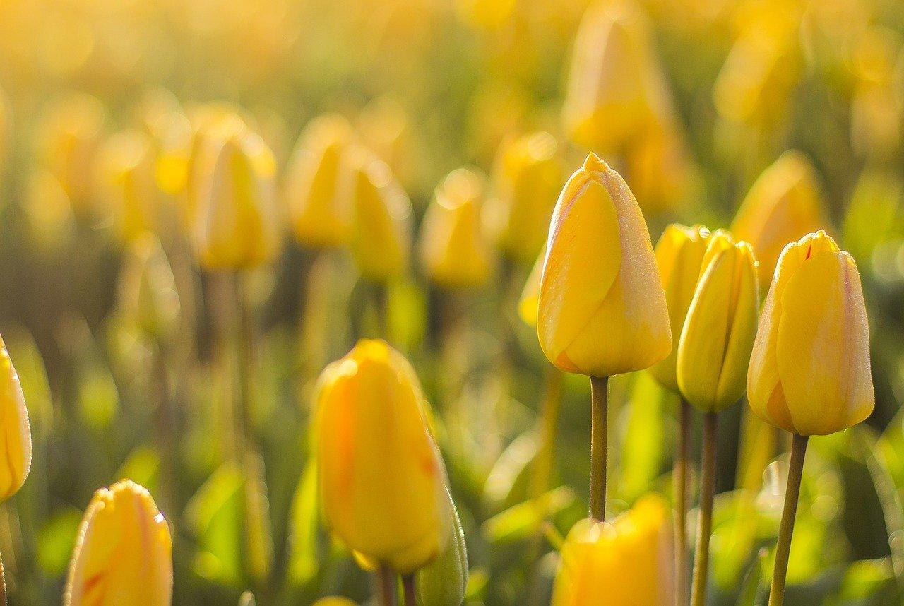 Tulipany - o historii kwiatów