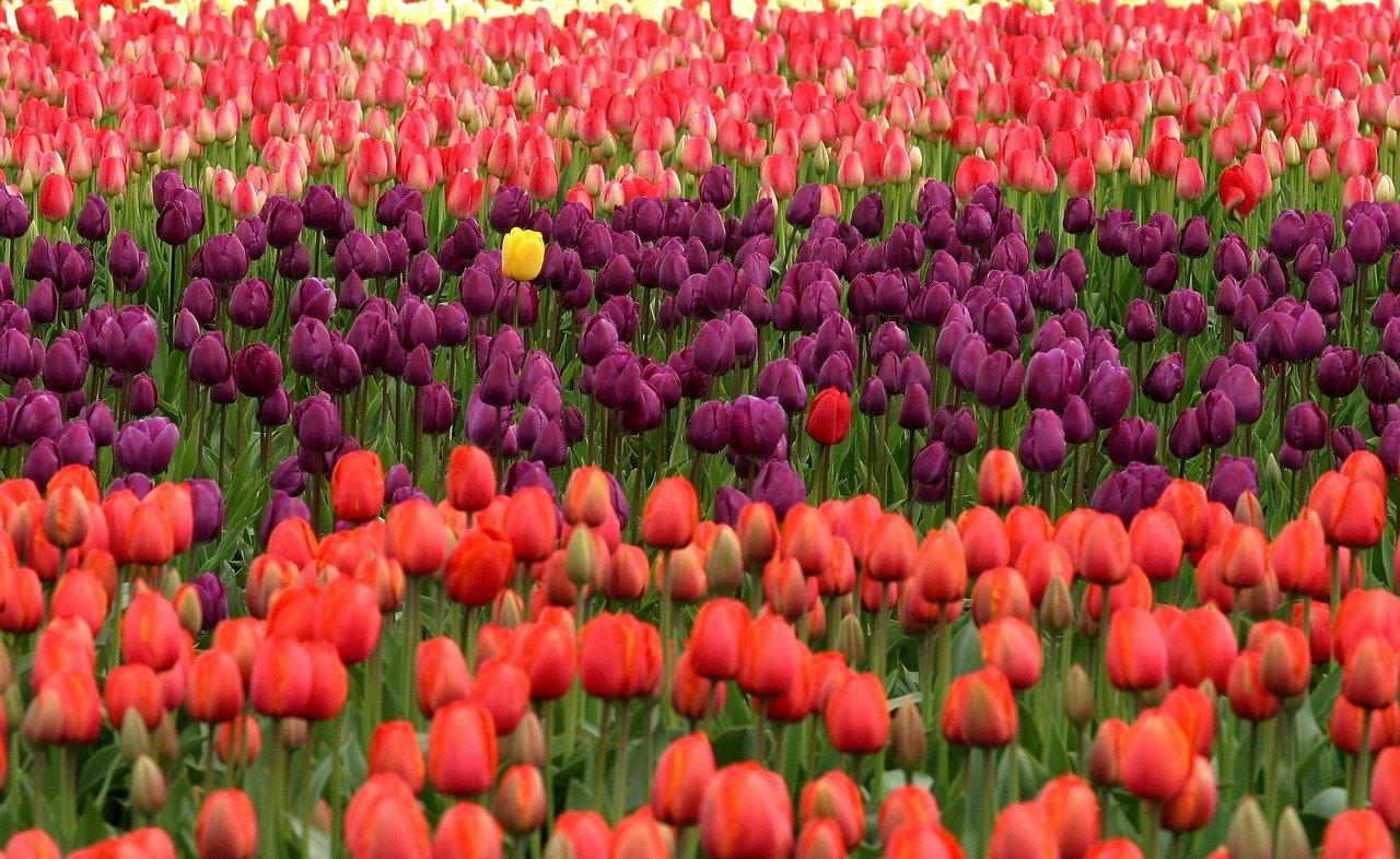 Podstawowe gatunki tulipanów