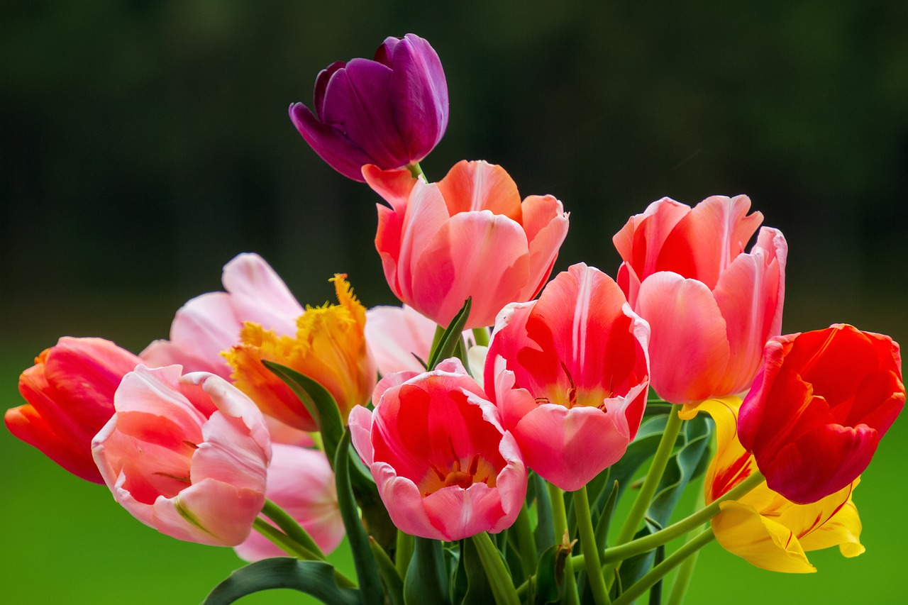 Skąd się bierze popularność tulipanów?