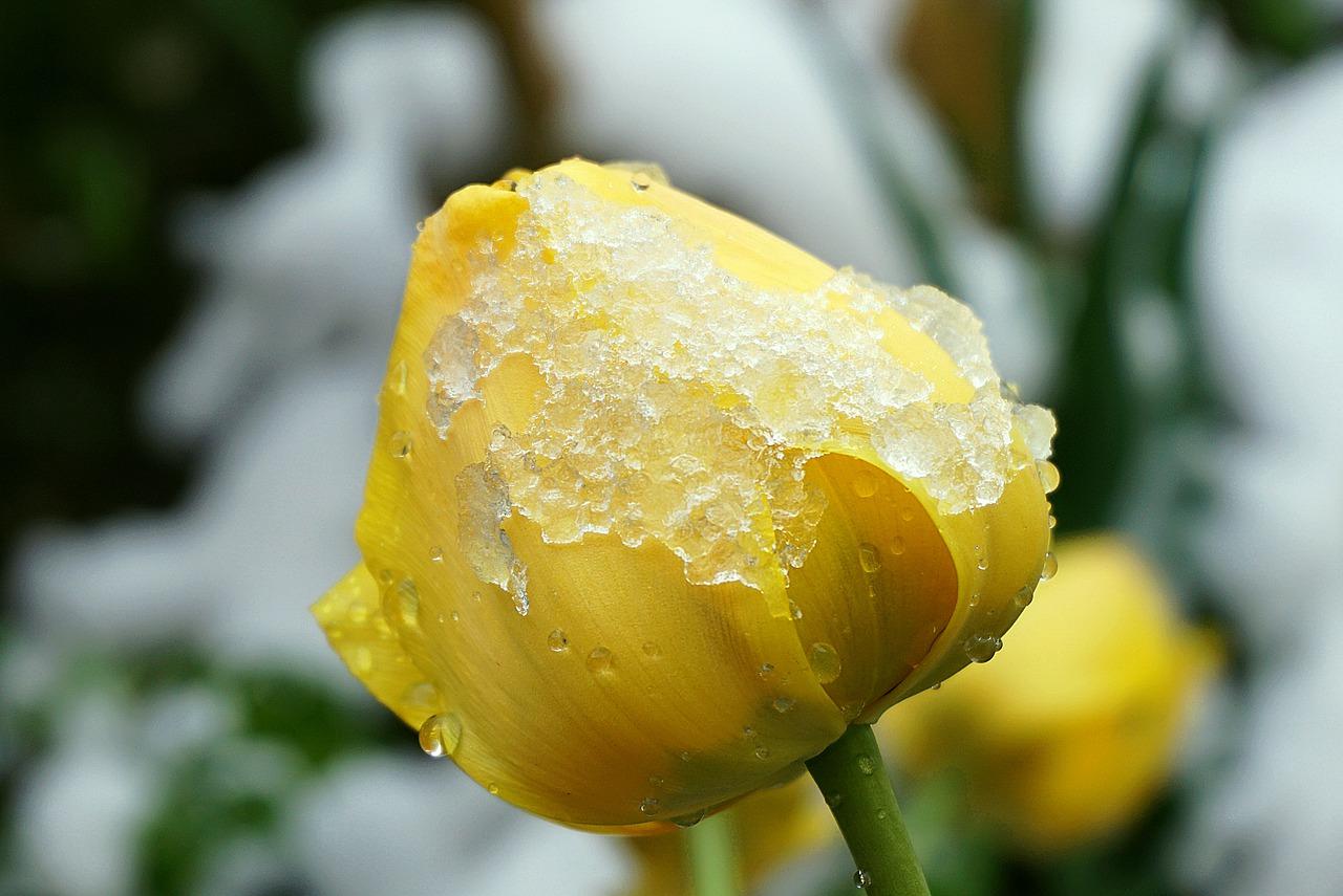 Zimowanie tulipanów w gruncie