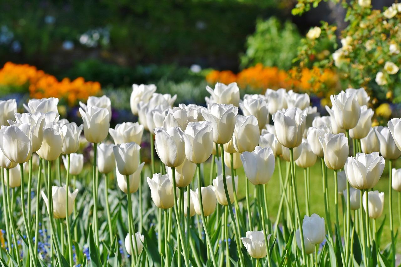 Znaczenie tulipanów